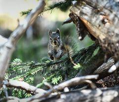 Ertappt, (graues Eichhörnchen)         DSC_3693-2