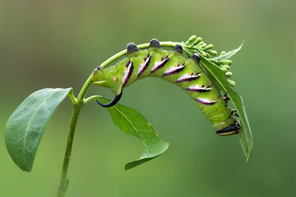 erwachsene raupe des ligusterschw rmers foto bild tiere wildlife insekten bilder auf. Black Bedroom Furniture Sets. Home Design Ideas