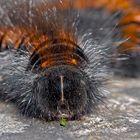 Erwachsene Raupe vom Brombeerspinner (Macrothylacia rubi) - La chenille du Bombyx de la Ronce!