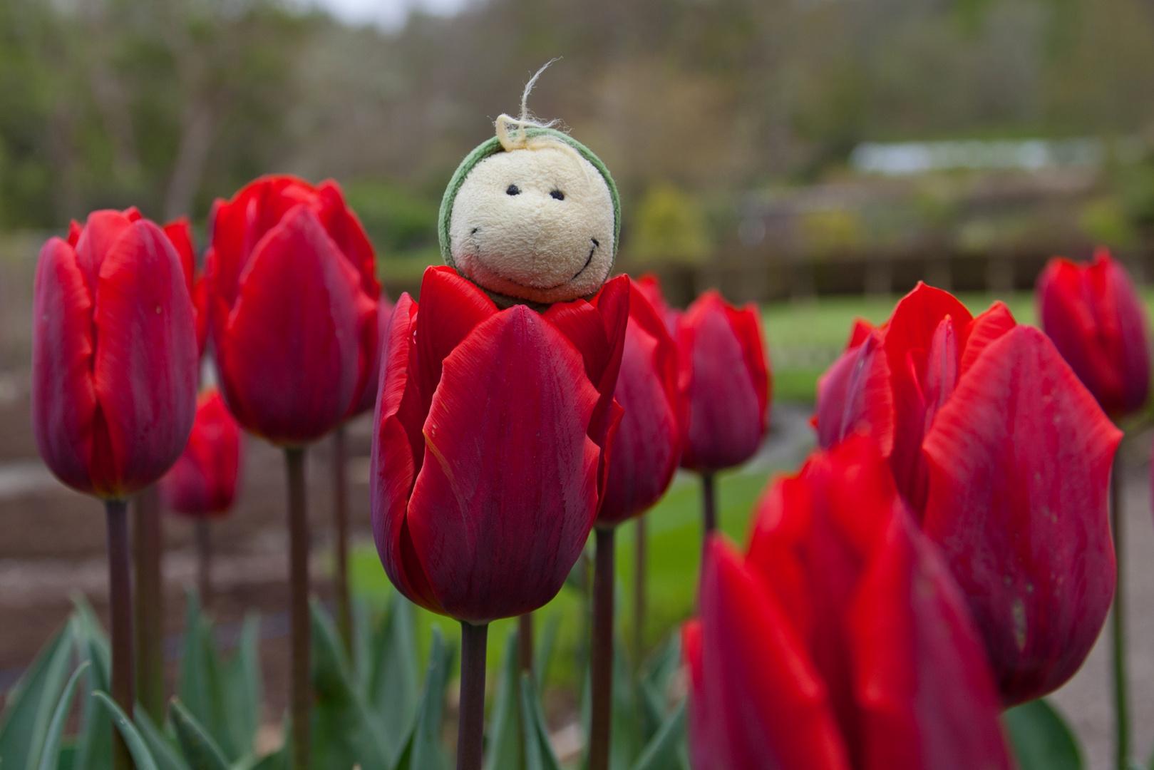 Erwin in der Tulpe