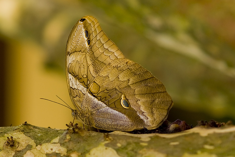 Eryphanis automedon (identificación gracias a Jo Kurz)