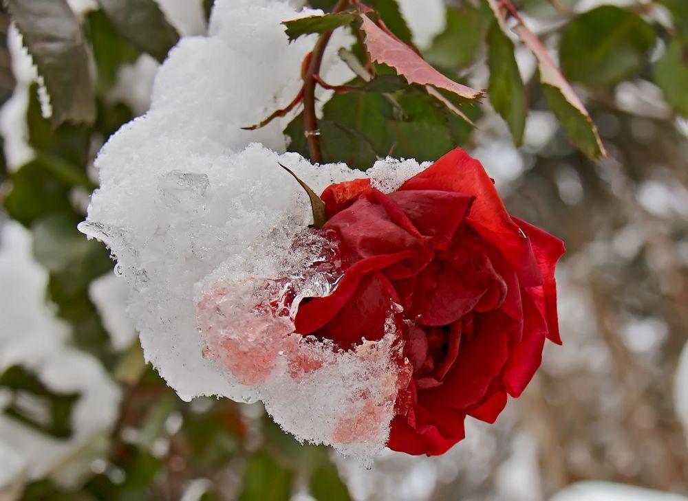 Es blüht eine Rose zur Weihnachtszeit. - La rose enrobée de neige.
