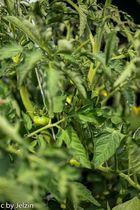 Es grünt so grün nachdem Tomatenpflanzen blühen , ja wohl sie wachsen LOL