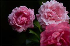 es ist die zeit der rosen