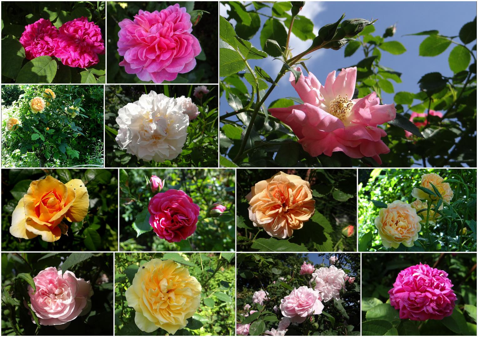 es ist ein gutes Rosenjahr....