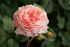 Es ist Rosenzeit....