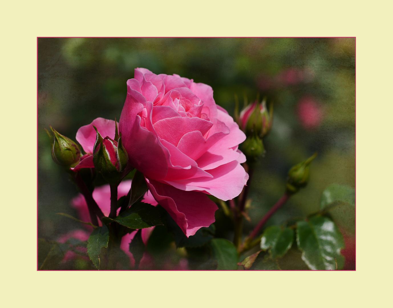 Es ist Rosenzeit!