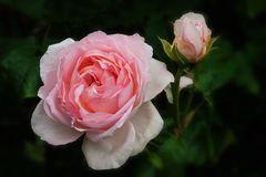 Es ist Rosenzeit..... II