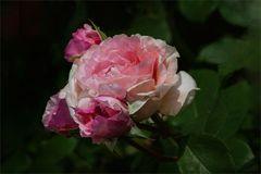 Es ist Rosenzeit...III