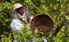 Es ist vollbracht - der Bienenschwarm befindet sich jetzt im Korb!