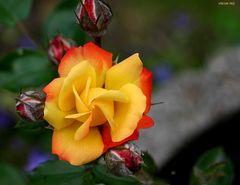 es ist wieder Freitag und alles dreht sich um Rosen - selbst die Blütenblätter