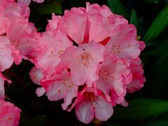 Es ist wieder Rhododendrenzeit