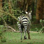 Es juckt dem Zebra gewaltig