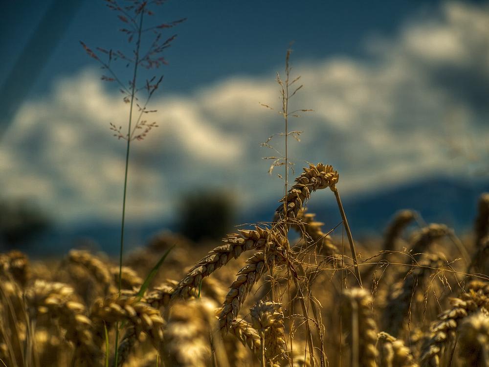 Es knistert im Weizen...