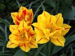 es leuchten die Tulpen