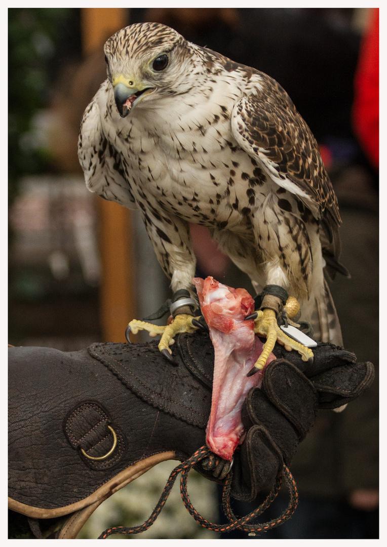 Es schmeckt dem Falken wohl..