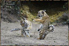 Es waren 3 Tigerkinder 2