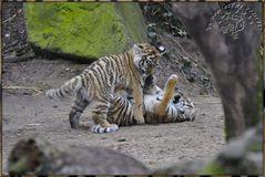 Es waren 3 Tigerkinder 4