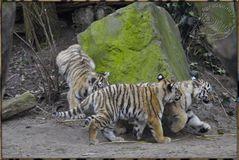 Es waren 3 Tigerkinder 5