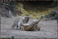 Es waren drei Tigerkinder 1