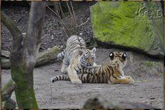 Es waren drei Tigerkinder 3