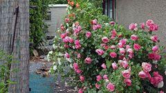 Es waren einst nur drei Rosenpflanzen...und nun ??