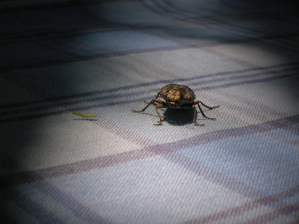Escarabajo en la mesa