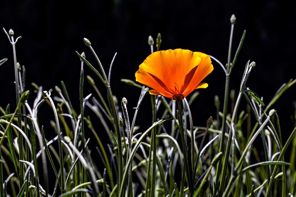 Eschscholzia californica + Lavandula angustifolia