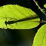 Escondida (sombra de libélula)