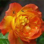 Escrime au jardin ou Fleur..etistes sur rose - Florettfechter auf einer Rose im Garten
