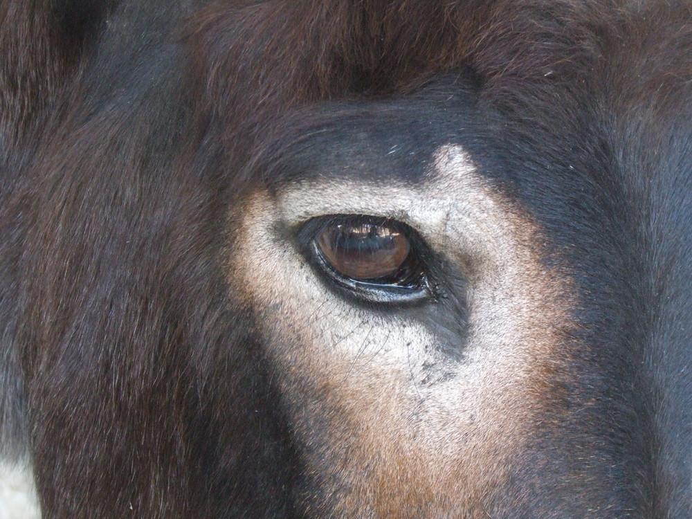 Esel auf Antipaxos