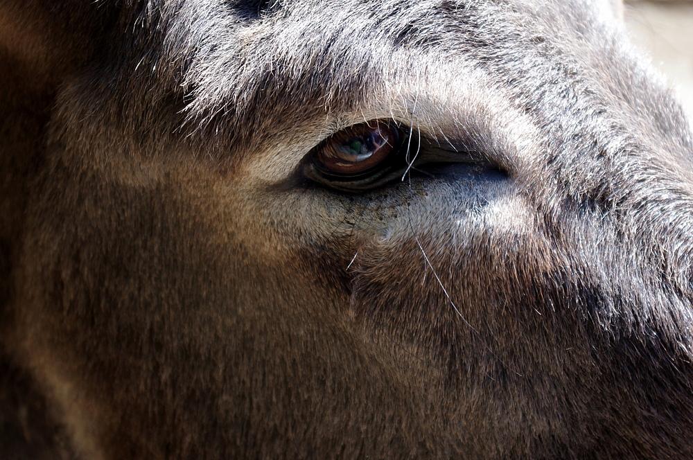 Esel-Eye