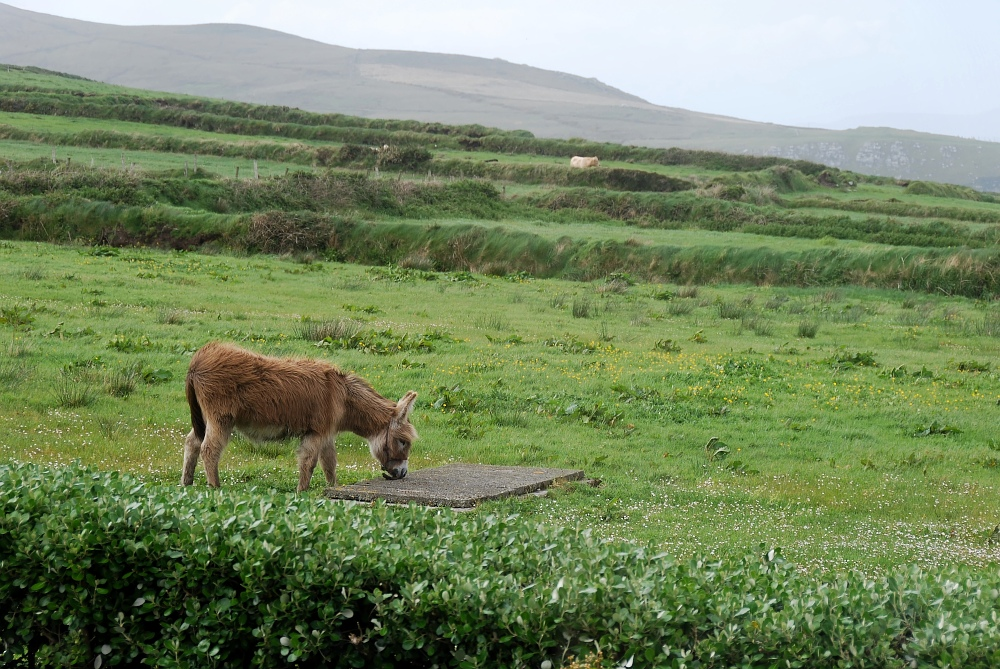 Esel in Irland