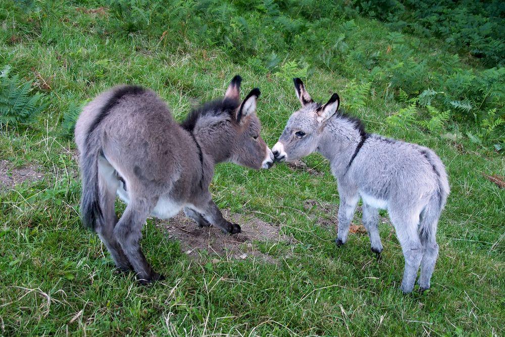Eselfohlen: Der erste Kuss! - La première bise de deux ânons mâle et femelle!