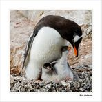 Eselspinguine • Port Lockroy