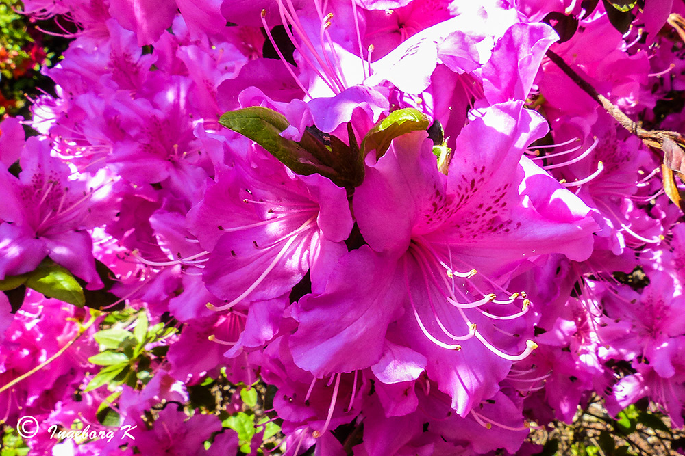 Essen - Gruga - Azaleenblüte