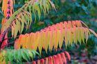 Essigbaum - geliebt wegen der tollen Farben