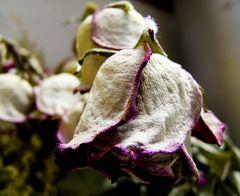 esta rosa la hice igual en raw y despues en jpg