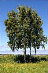 estnische birken am finnischen meerbusen