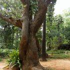 Et il a moins de 40 ans ! ... Comme tous les arbres d'Auroville