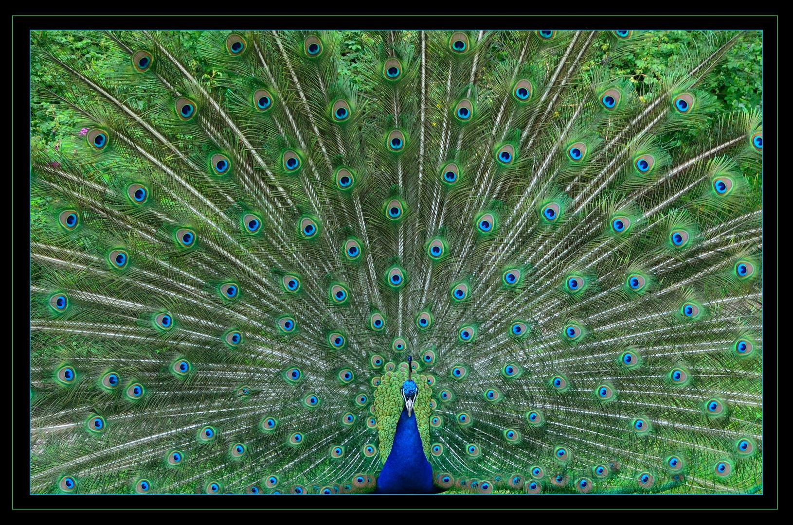 Le Paon Qui Fait La Roue et paon dans le mille ! photo et image   animaux, animaux