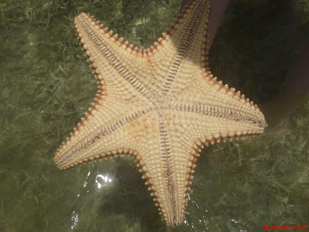 Etoile de mer géante dans la mer des Caraibes