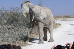Etosha - Ganz nahe - ein junger Elefant