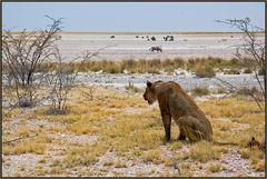 Etosha National Park - Eine Löwin beobachtet ihr Mittagsmahl