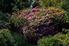 etwas rhododendron ...