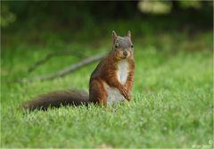 Etwas überrascht schaute das Eichhörnchen ...