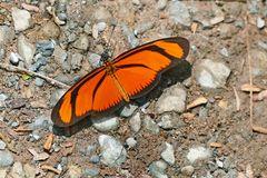 EUIDES LINEATA (Orange longwing?)