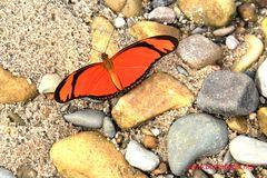 EUIDES LINEATA , Orange longwing