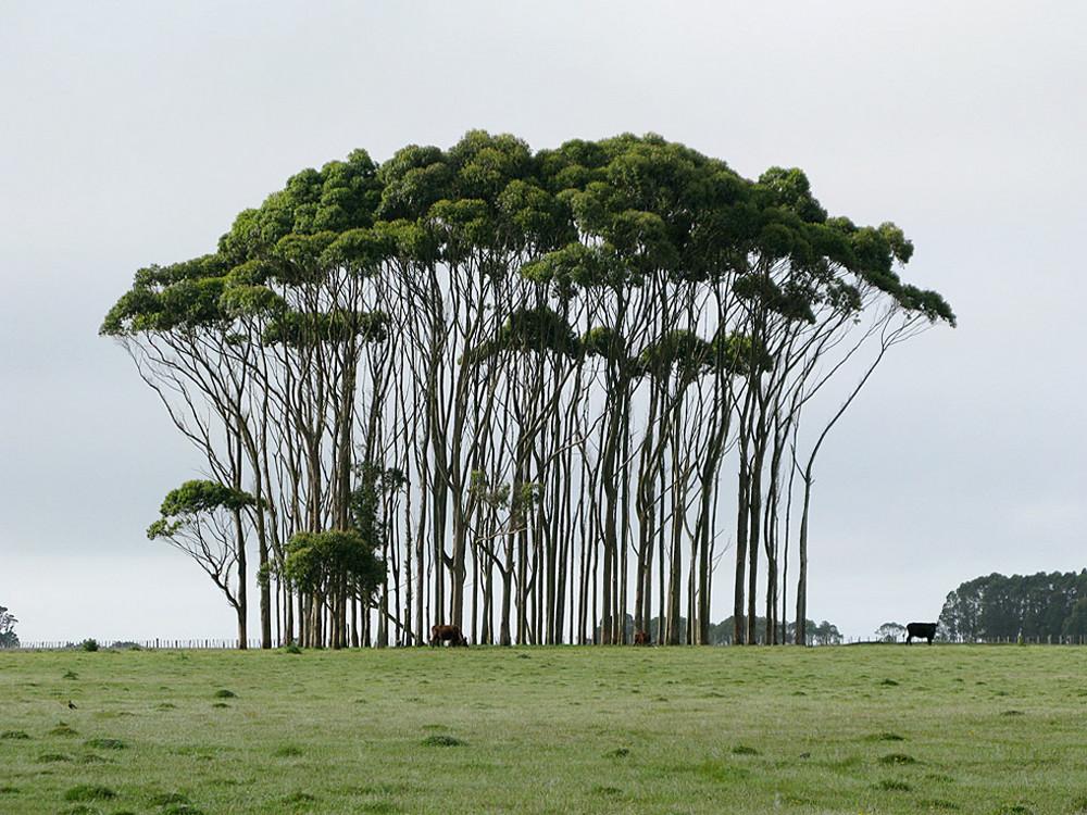 Eukalypten-Gruppe