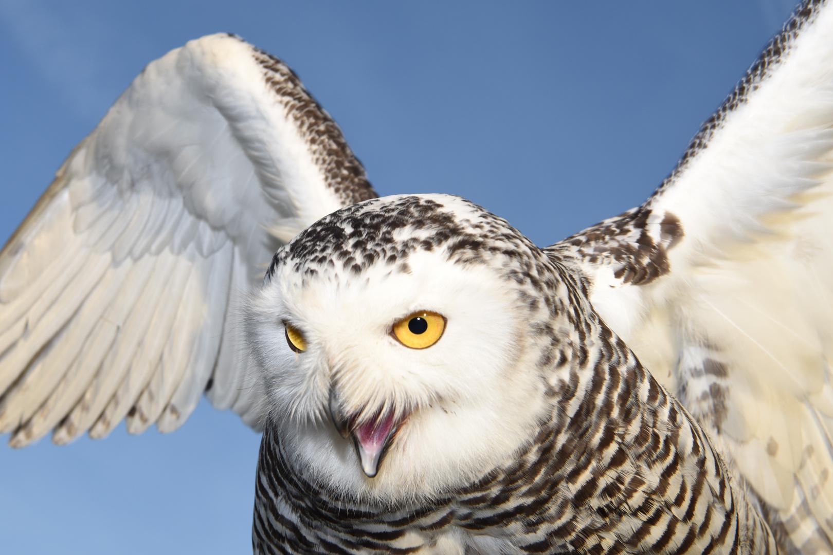 Eule Hedwig